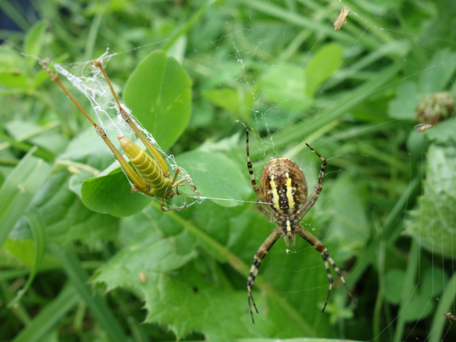 walka pająków